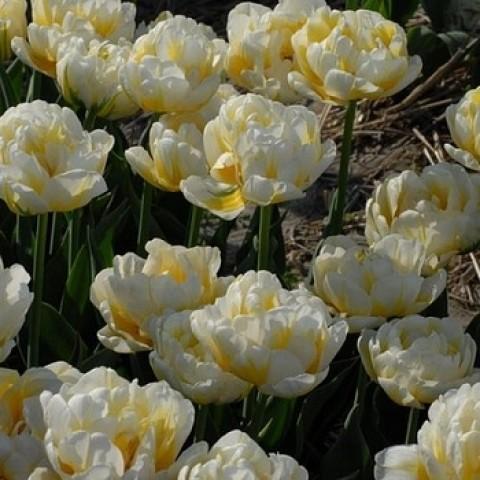 Тюльпан Махровый Flaming Evita
