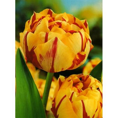 Тюльпан Махровый Golden Nizza