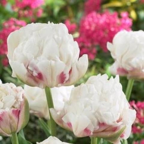 Тюльпан Махровый Ice Wonder