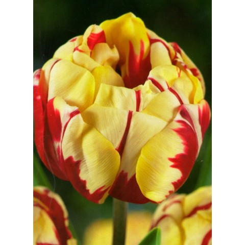 Тюльпан Махровый Monsella