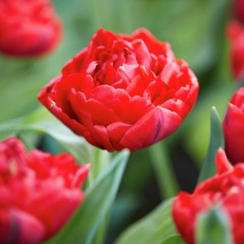 Тюльпан Махровый Salcido