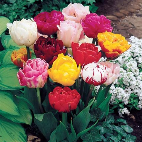 Тюльпан Махровый смесь