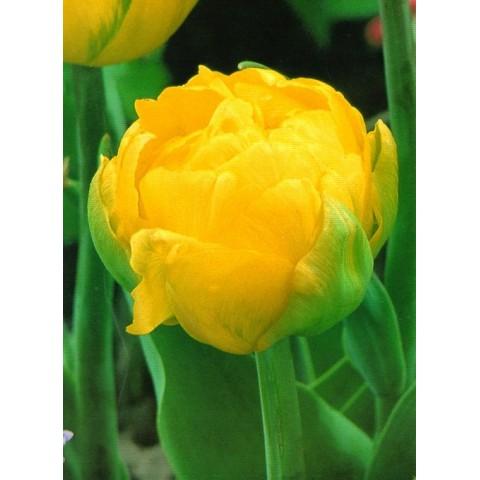 Тюльпан Махровый Thule Exotic
