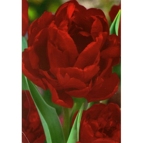 Тюльпан Махровый Uncle Tom
