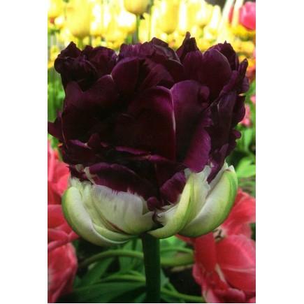 Тюльпан Махровый Wow Blue