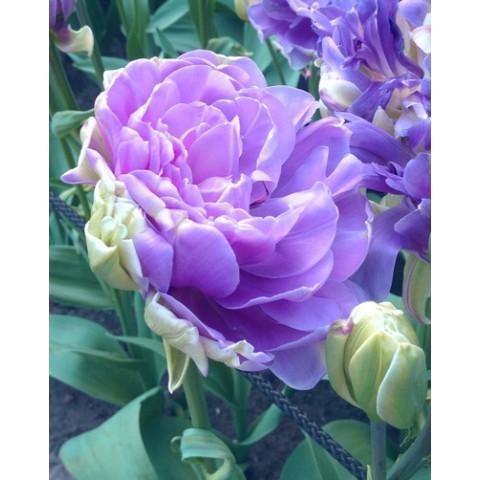 Тюльпан Махровый + Многоцветковый Lilac Perfection
