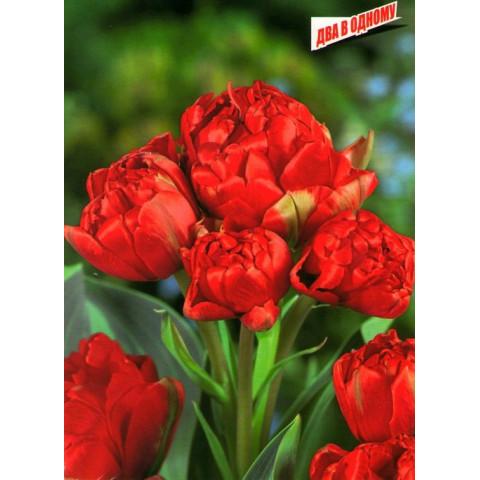 Тюльпан Махровый + Многоцветковый Toronto Double