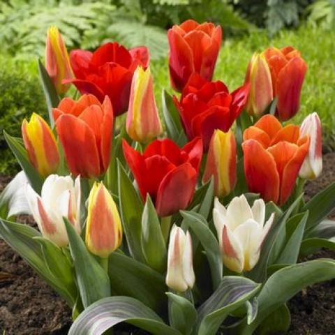 Тюльпан низкорослые (Грейга + Кауфмана) смесь