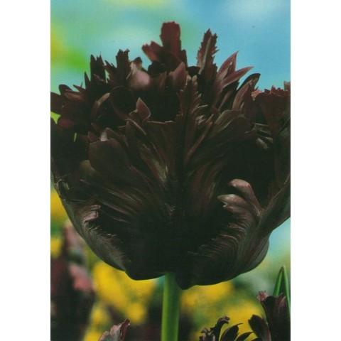 Тюльпан Попугайный Black Parrot