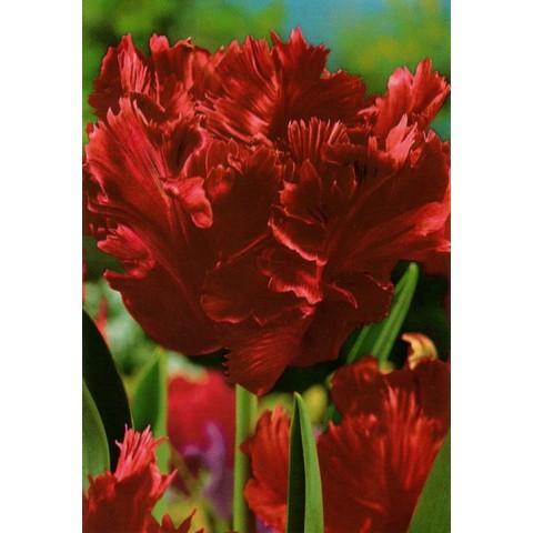 Тюльпан Попугайный Karel Doorman