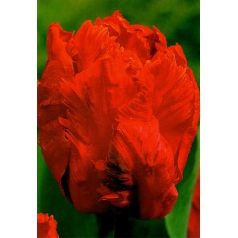 Тюльпан Попугайный Orange Favourite