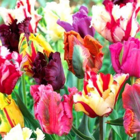 Тюльпан Попугайный смесь