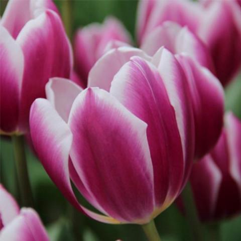 Тюльпан Триумф Synaeda Blue