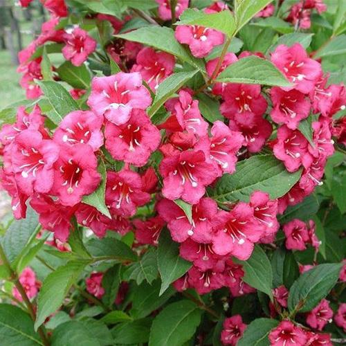 Вейгела – чудо-кустарник для вашего сада