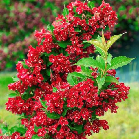 Вейгела Red Prince