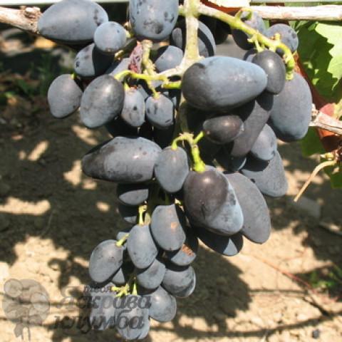 Виноград Академік