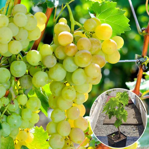 Виноград Андрійчик (Італійський Н. Н.) (контейнер 2 л)