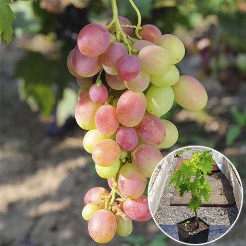 Виноград Анюта (контейнер 2 л)