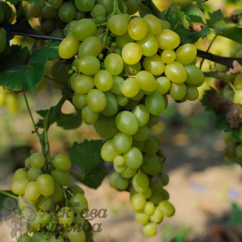 Виноград Аркадія