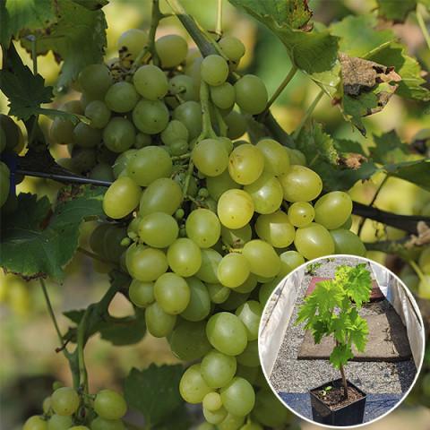 Виноград Аркадія (контейнер 2 л)