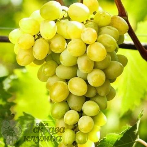 Виноград Августін