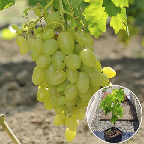 Виноград Бажена (контейнер 2 л)