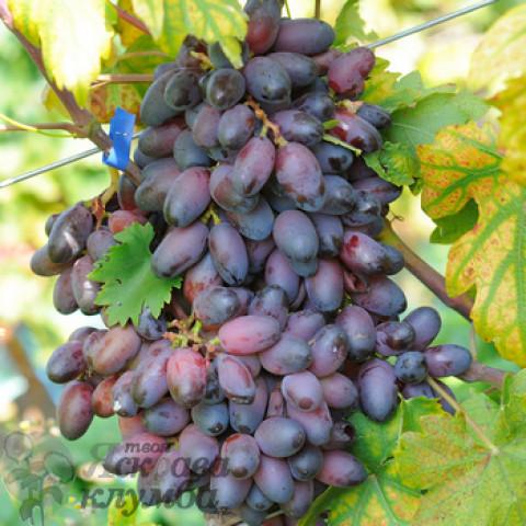 Виноград Еталон