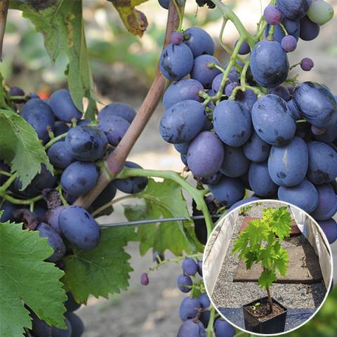 Виноград Фуршетный (контейнер 2 л)