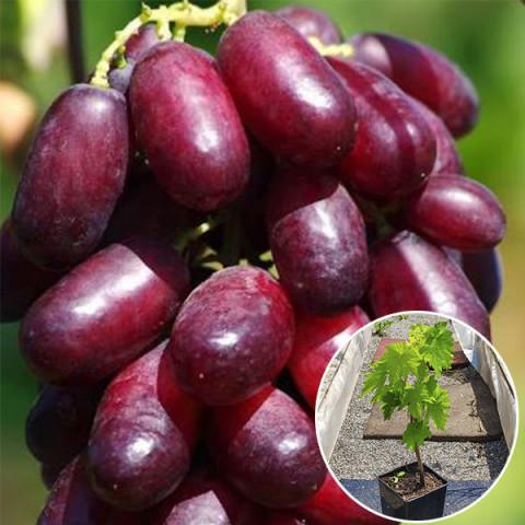 Виноград Ізюминка (контейнер 2 л)