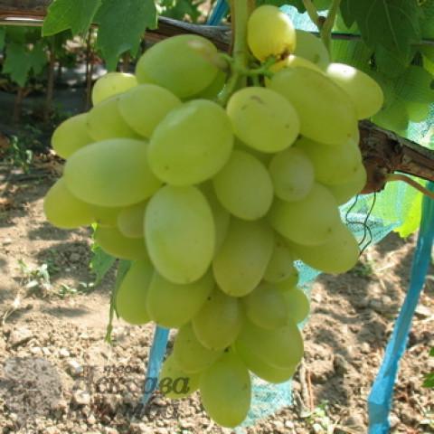Виноград Ізюминка рання