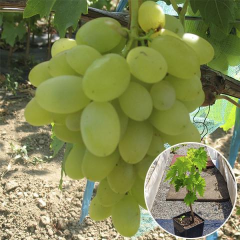 Виноград Ізюминка рання (контейнер 2 л)