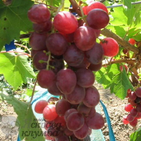 Виноград Здивування