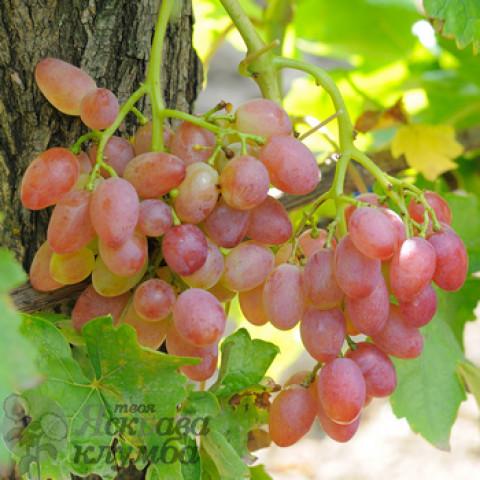 Виноград кишмиш Променистий