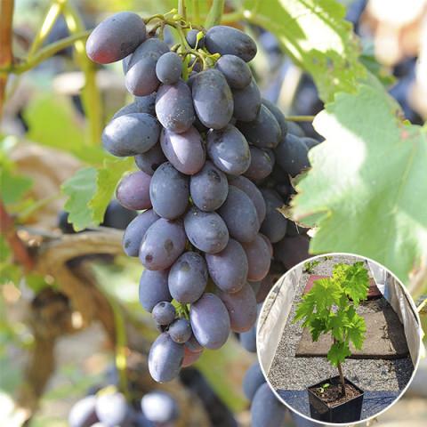Виноград Кодрянка (контейнер 2 л)