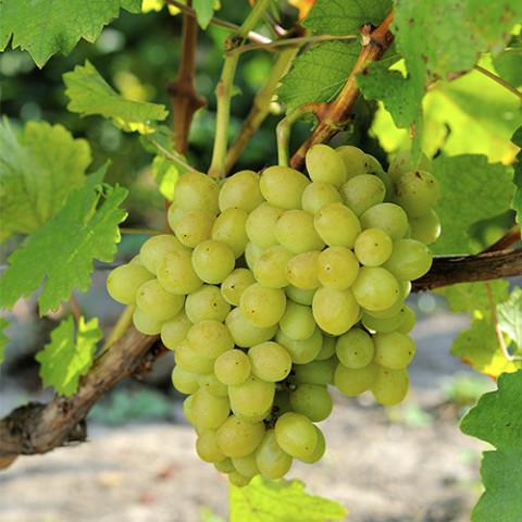 Виноград Ладанний