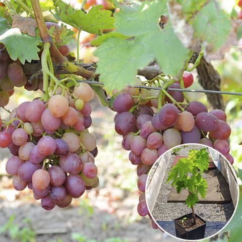 Виноград Лівія (контейнер 2 л)