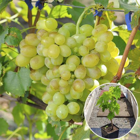 Виноград Лора (контейнер 2 л)