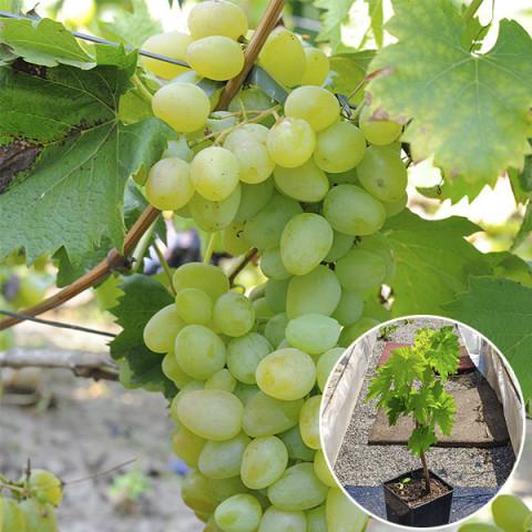 Виноград Монарх (контейнер 2 л)