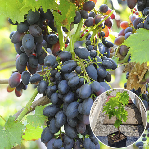 Виноград Надежда АЗОС (контейнер 2 л)