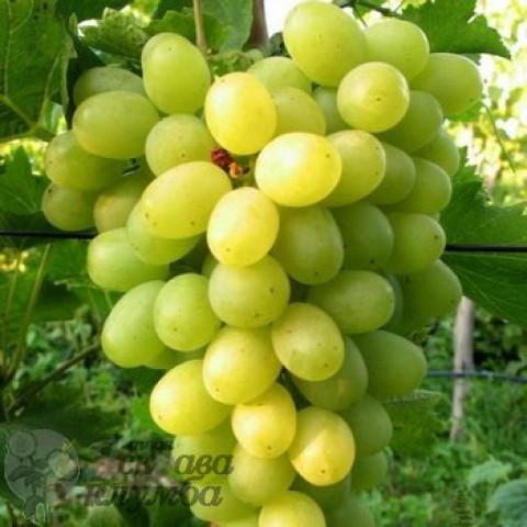 Виноград Новий Подарунок Запоріжжю