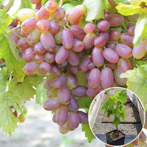 Виноград Преображение (контейнер 2 л)