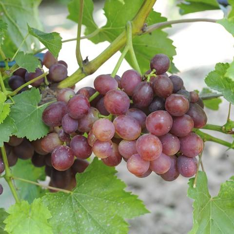Виноград Розмус (контейнер 2 л)