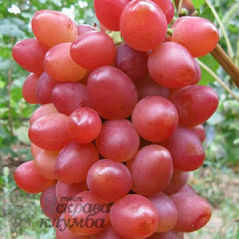 Виноград Софія