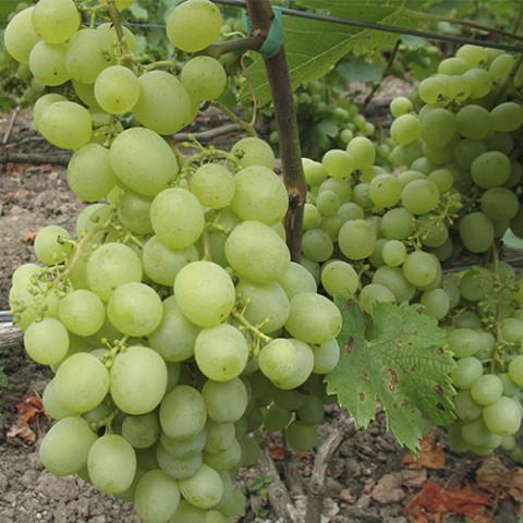 Виноград Світлина