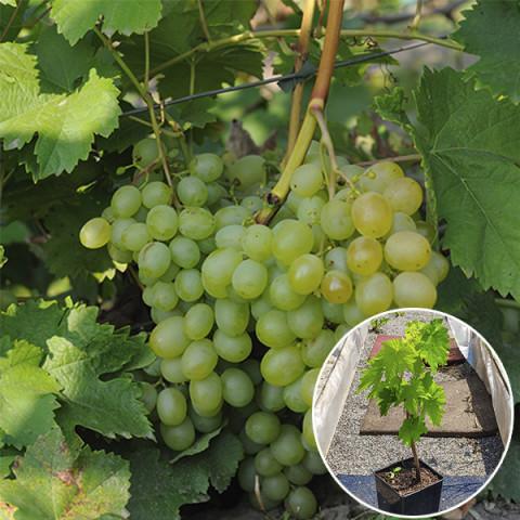 Виноград Світлина (контейнер 2 л)