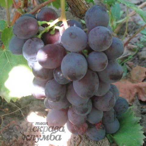 Виноград Троя
