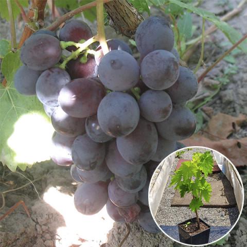 Виноград Троя (контейнер 2 л)