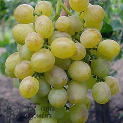 Виноград Восторг
