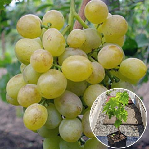 Виноград Восторг (контейнер 2 л)