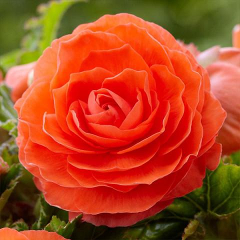 Бегонія New Star Orange